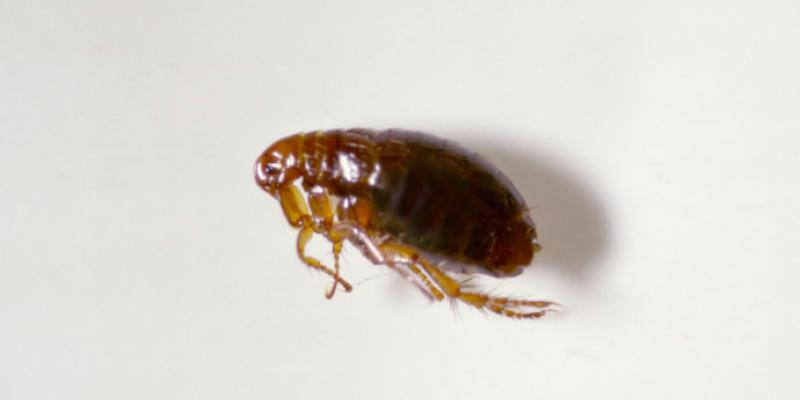 a flea on a white surface