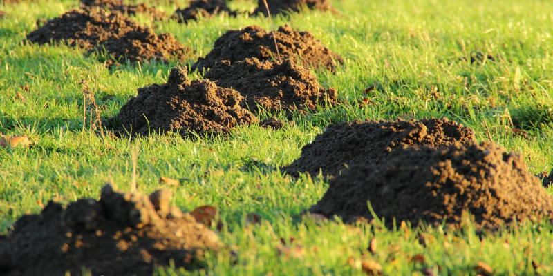 mole-hill-mounds-in-yard