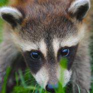 baby raccoon in grass