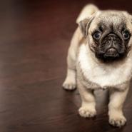 cute-puppy-pug-in-house